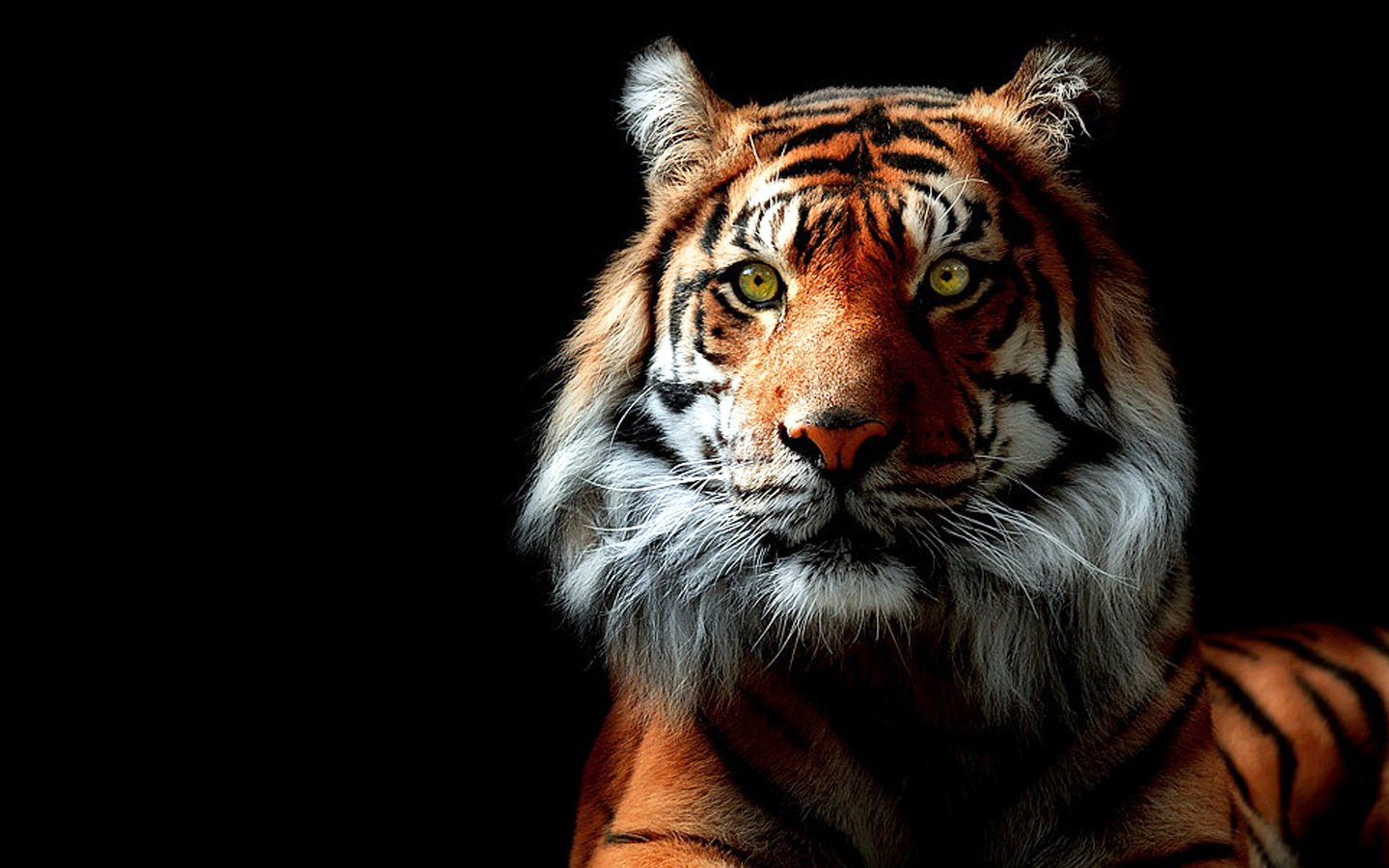 tiger background wallpaper #3