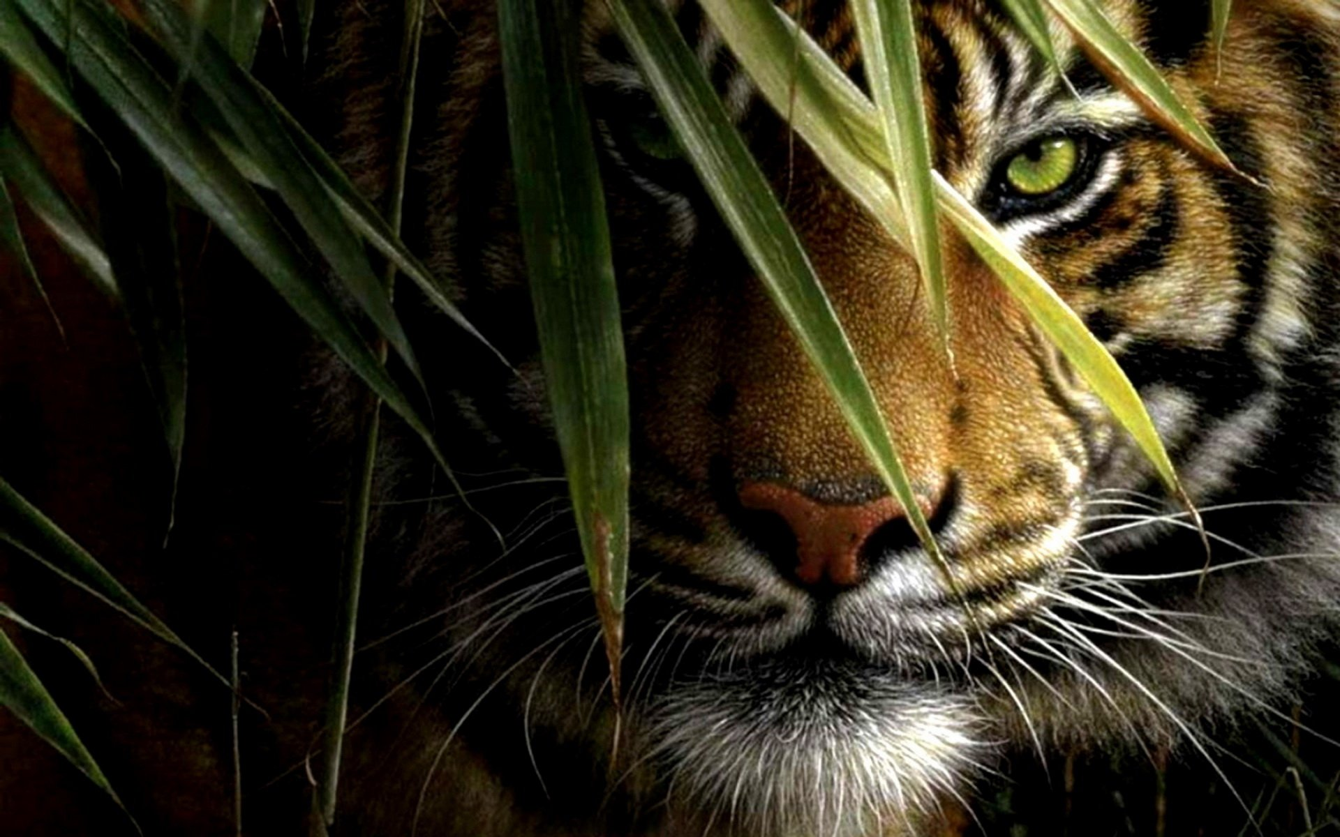 1185 Tiger HD Wallpapers | Backgrounds - Wallpaper Abyss - Page 2