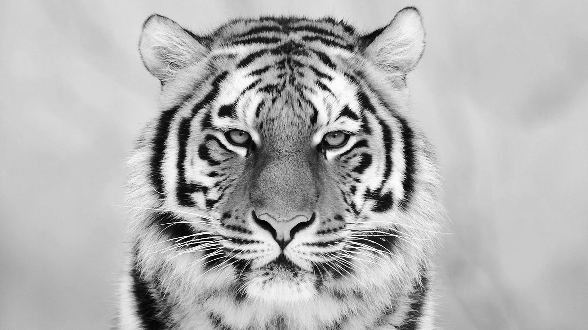 GHL21 Awesome White Tiger Backgrounds, Wallpapers