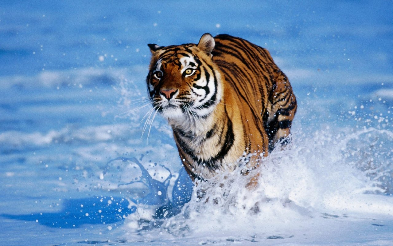 Tiger Wallpapers for Desktop - WallpaperSafari