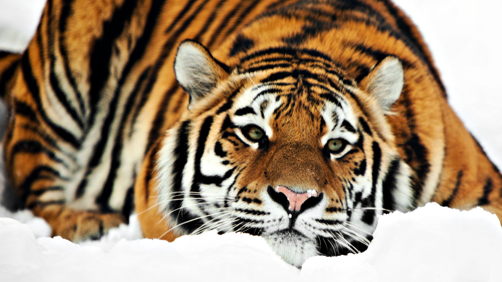 Collection of Desktop Wallpaper Tiger on HDWallpapers