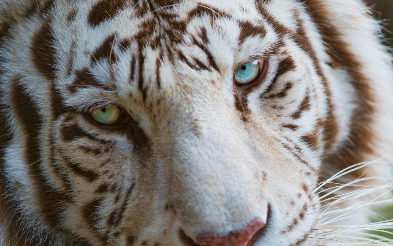 tiger eye wallpaper #16