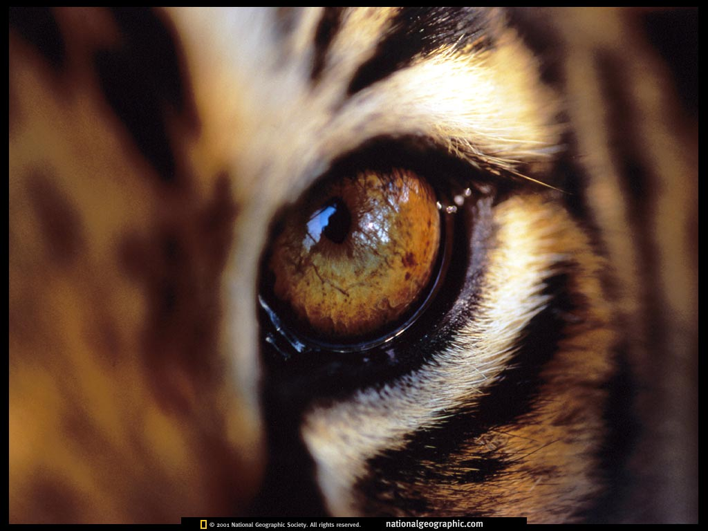 Tiger Eye Wallpaper