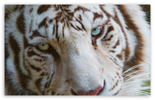 White Tiger Eyes HD desktop wallpaper : Widescreen : High