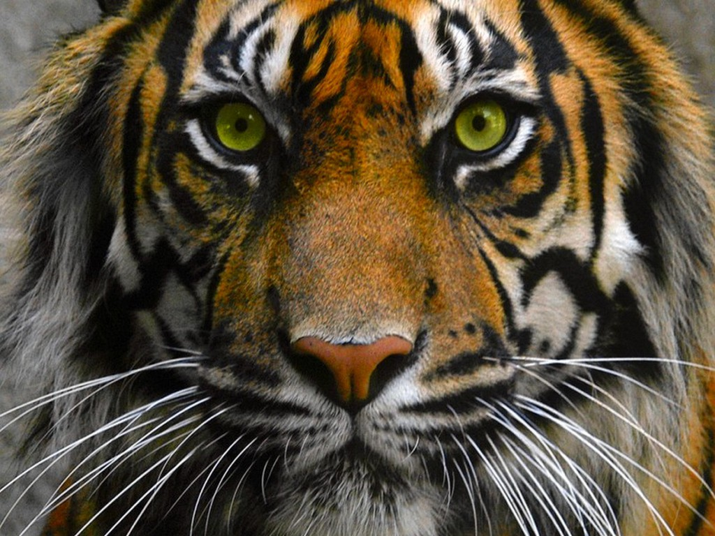 tiger eye wallpaper #21