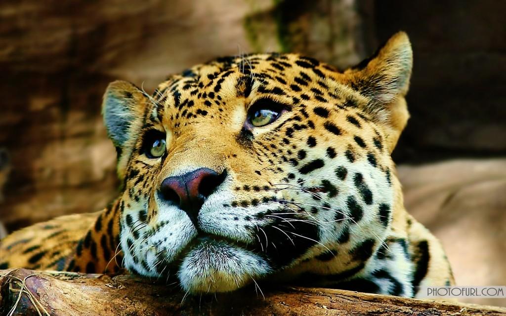 tiger eye wallpaper #22