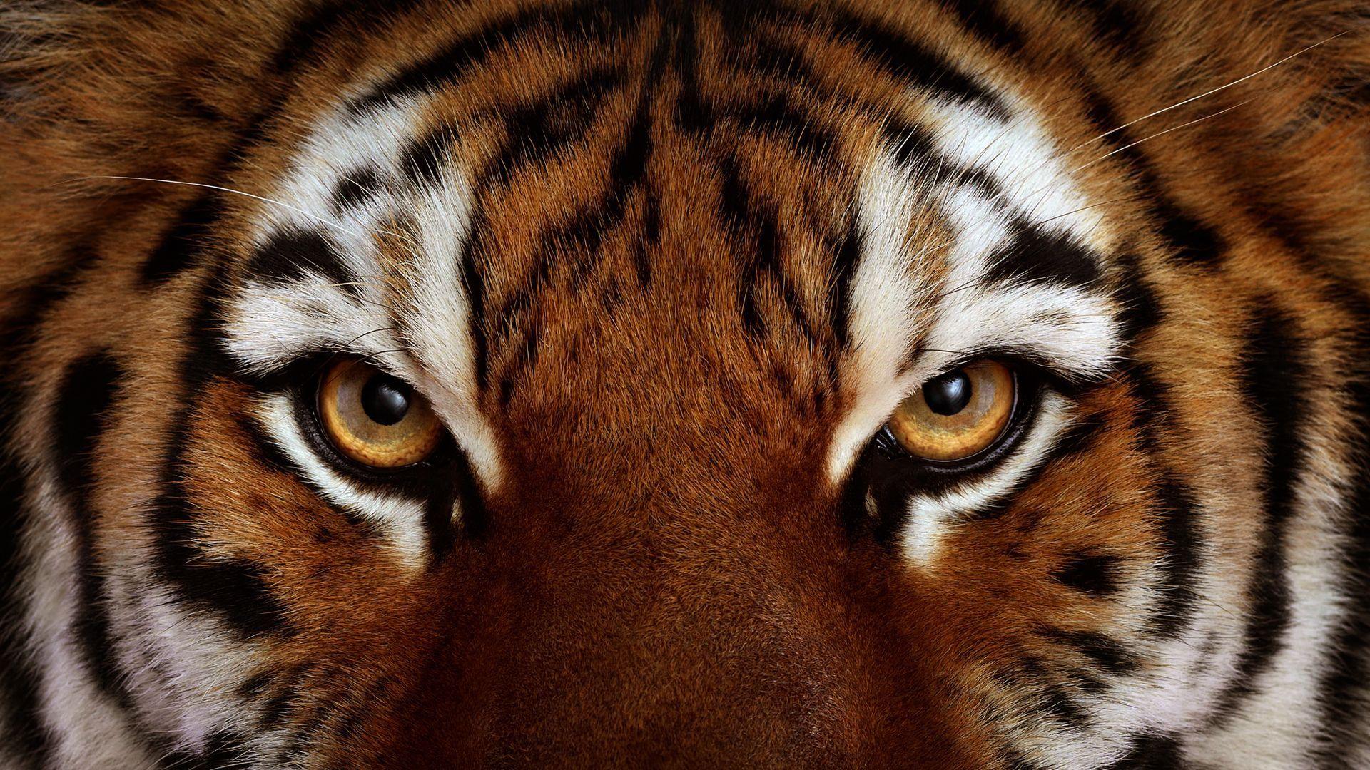 tiger eye wallpaper #17