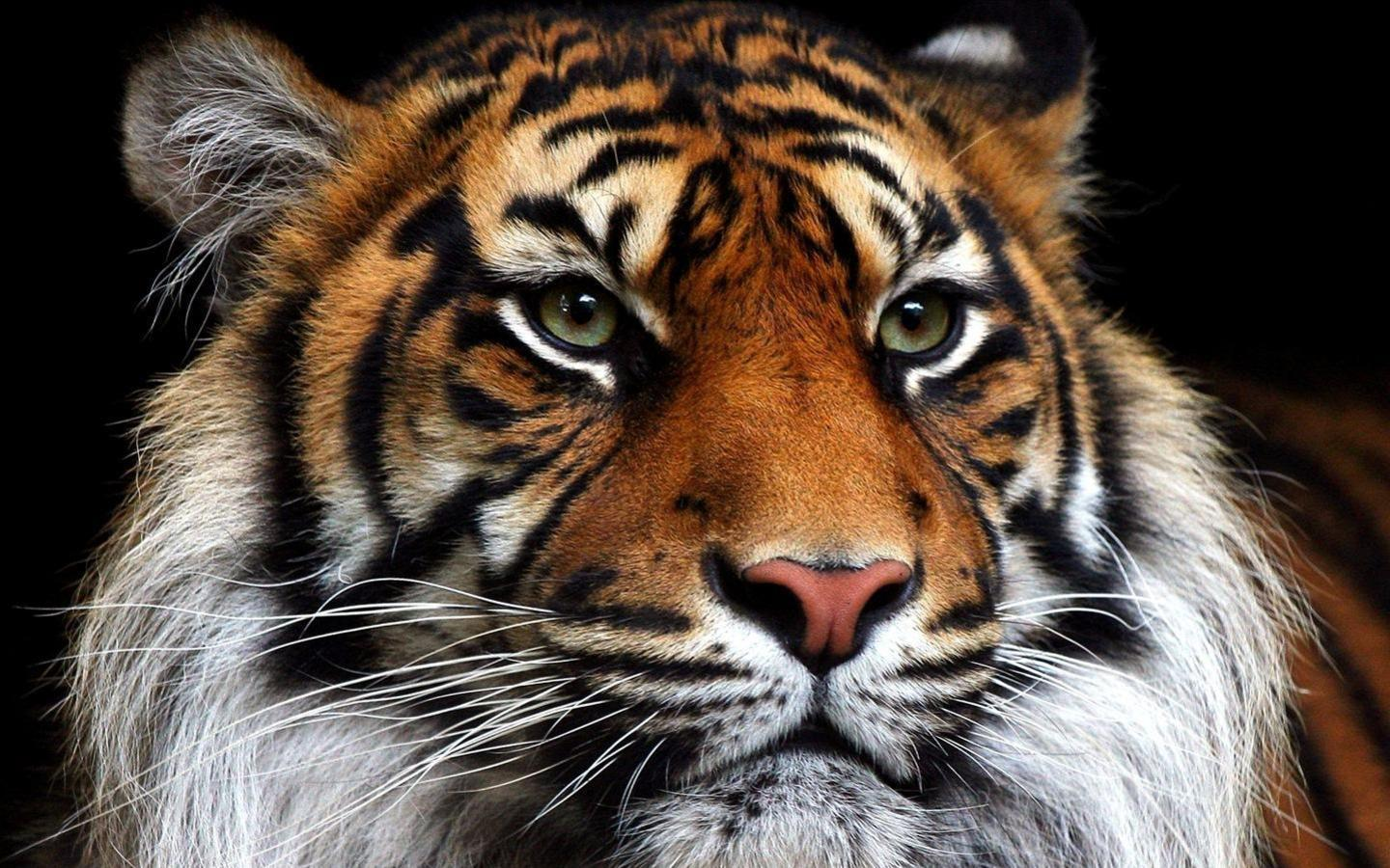 High Quality Tiger Face Wallpaper | Full HD Pictures
