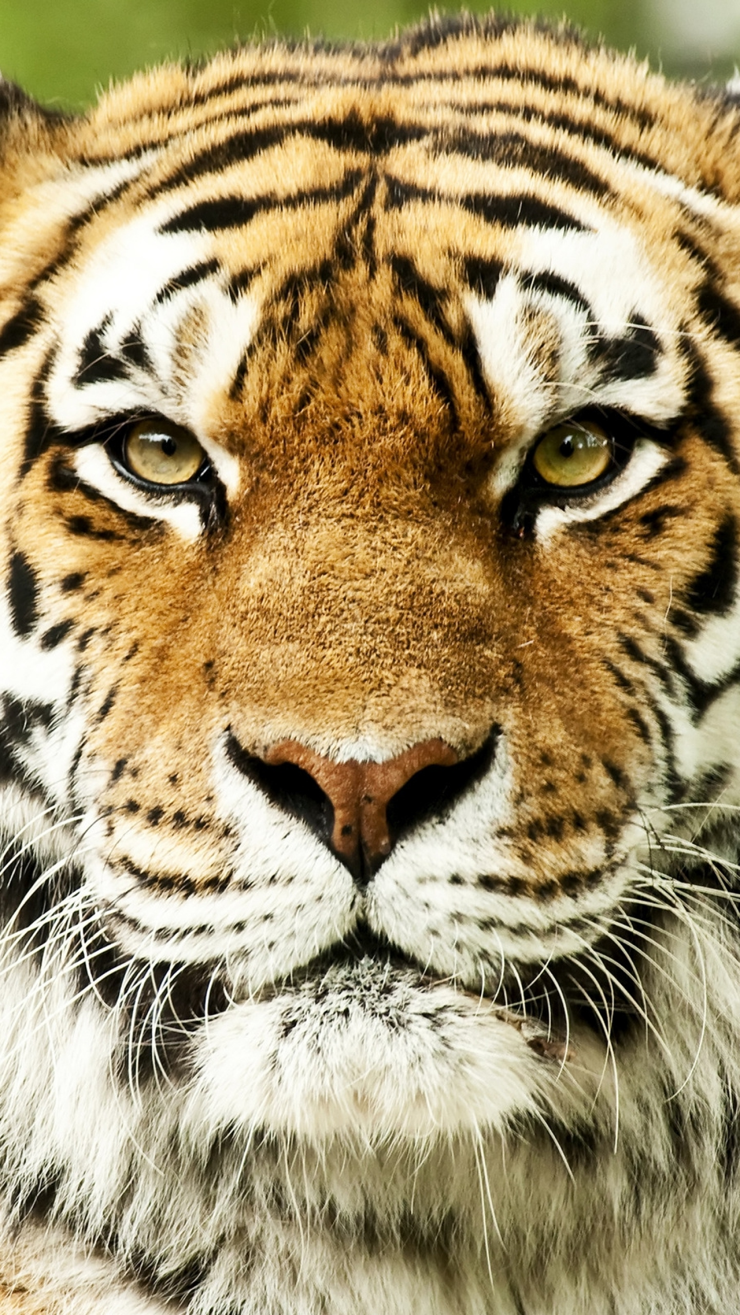 QHD Samsung Galaxy S6, S7, Edge, Note, LG G4 Tiger Wallpapers HD