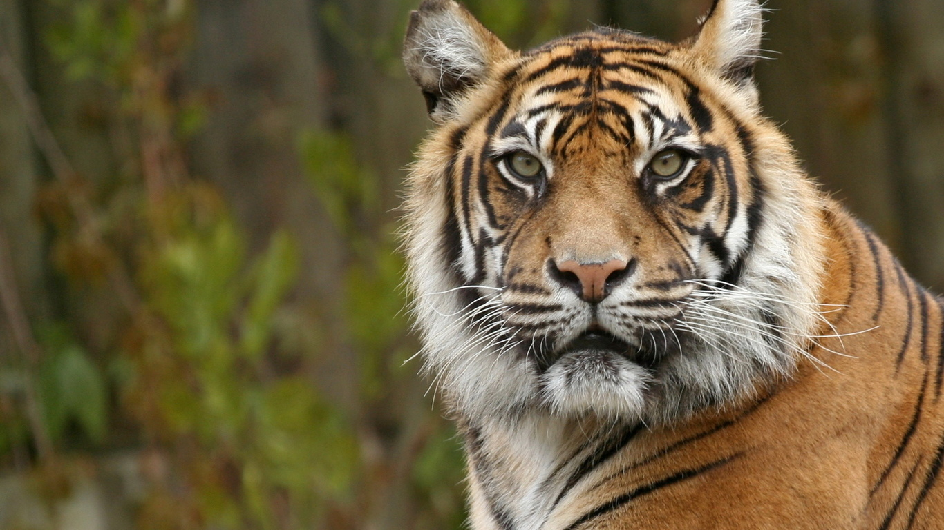 Desktop Photos: Tiger Face Wallpaper, Tiger Face Wallpapers (#JA39