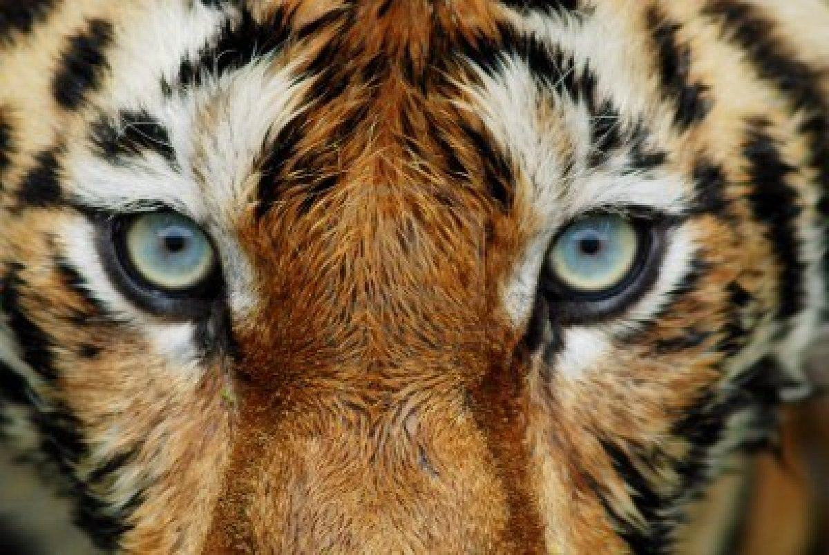 Tiger Face Wallpapers