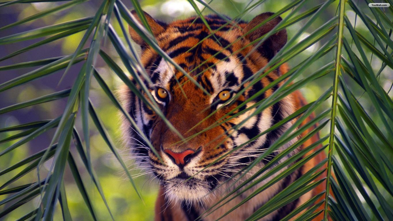 YouWall - Tiger Face Wallpaper - wallpaper,wallpapers,free