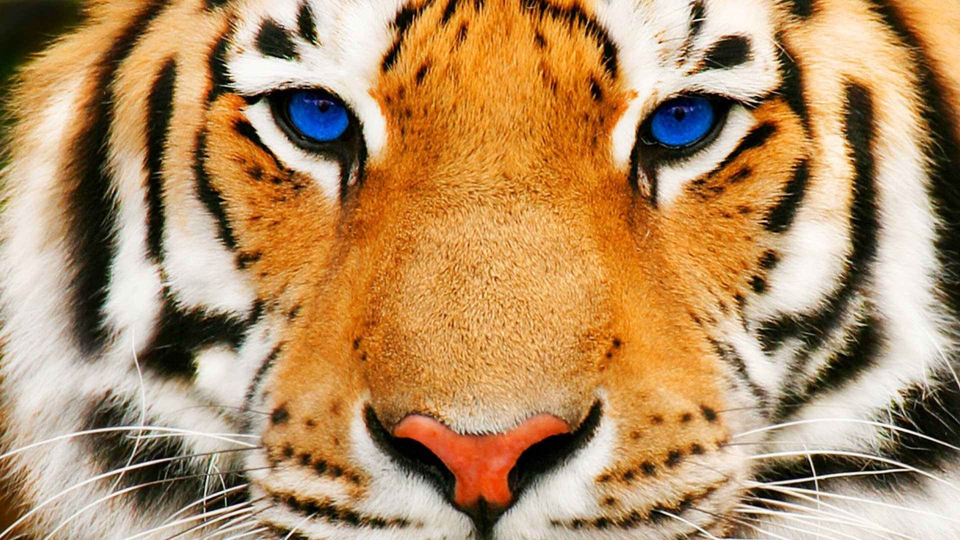 tiger face hd wallpapers | Desktop Backgrounds for Free HD