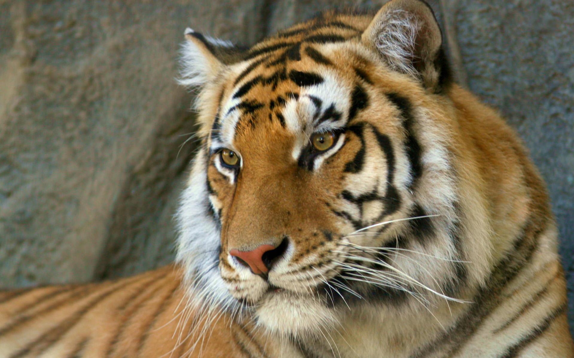Bengal Tiger Wallpapers | HD Wallpapers
