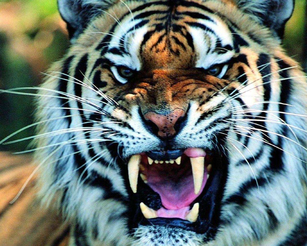 Tiger HD Wallpapers | Tiger Pictures Free Download 1080p – HD