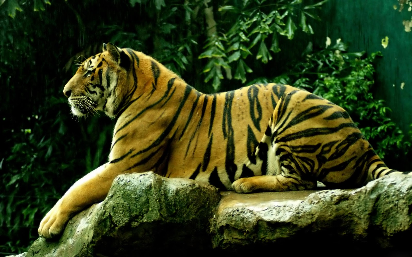 Best Desktop HD Wallpaper - Tiger HD wallpapers