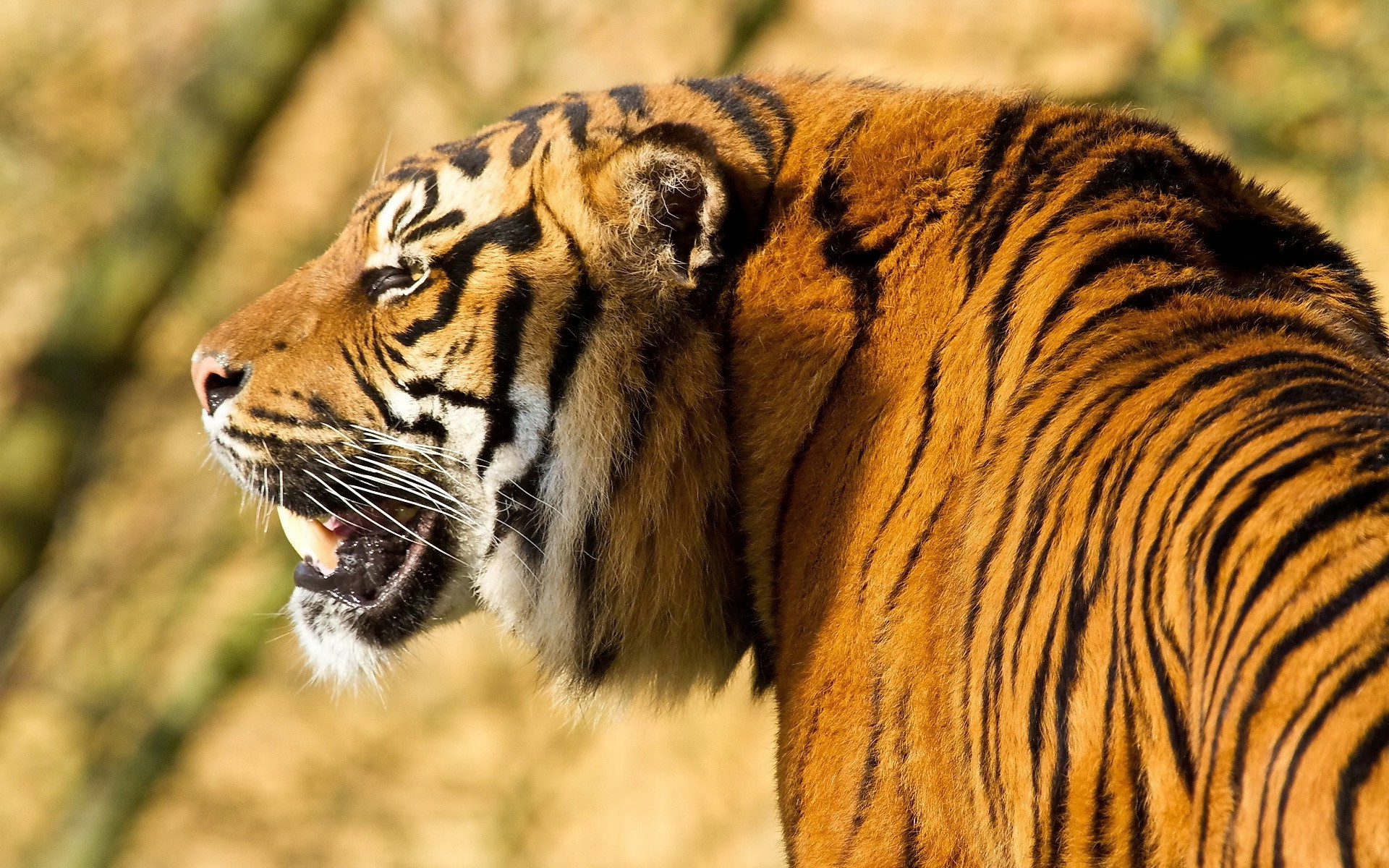 Tiger HD Photos | Wild Animal Wallpapers Images Pictures Download