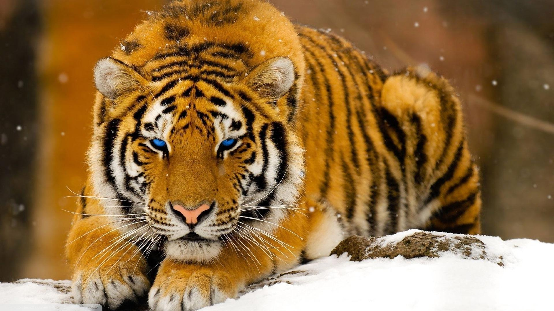 Tiger HD Wallpapers and Backgrounds sorted by date
