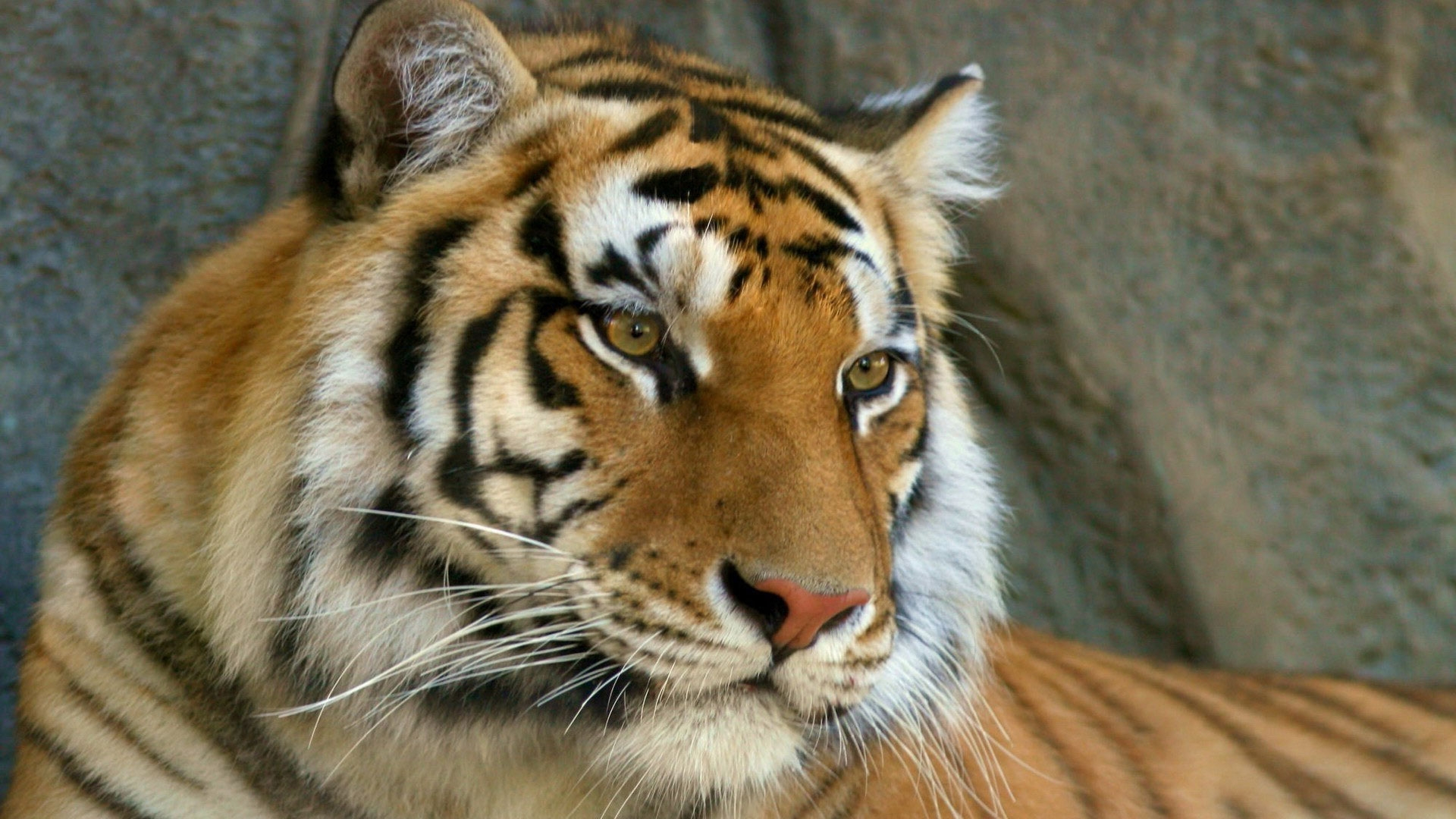 Simple Wallpaper High Resolution Tiger - tiger-hd-wallpapers-1920x1080-9  Photograph_475858.jpg