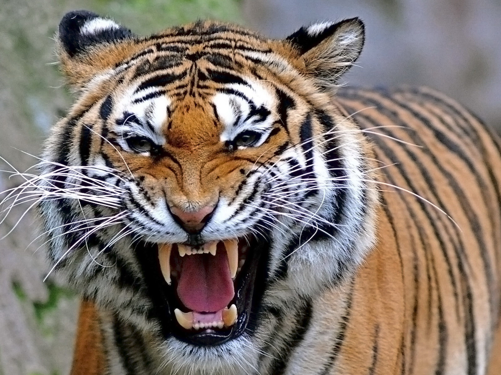 Tiger Wallpapers Free Group (82+)