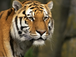 Tiger wallpaper wallpapers for free download about (3,120) wallpapers
