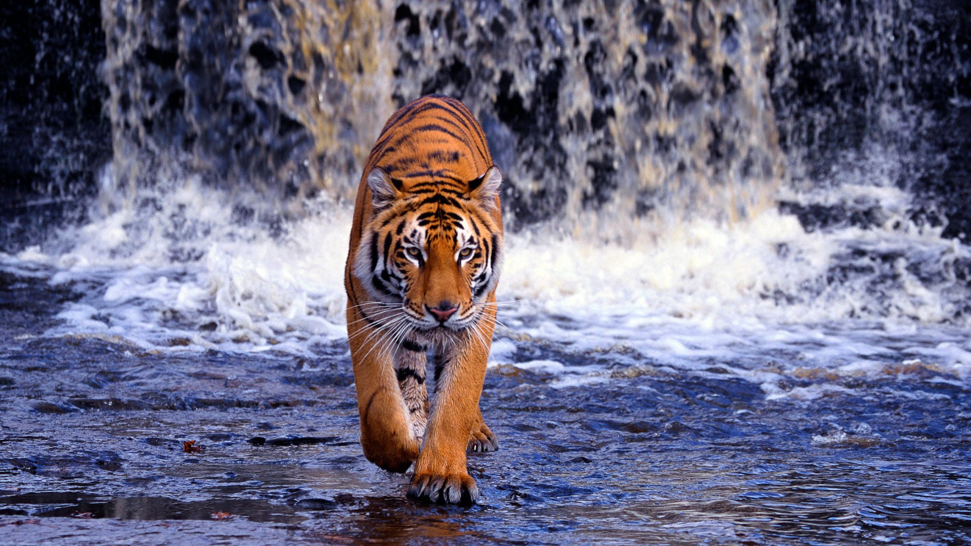 tiger backgrounds #2