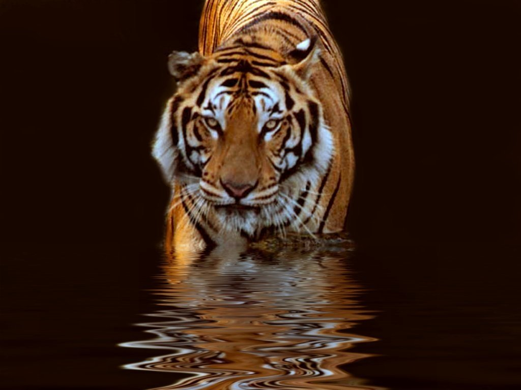 tiger background pictures #1