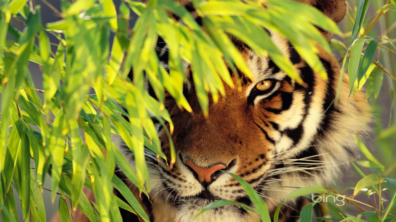 Tiger Photos Wallpapers Group (81+)