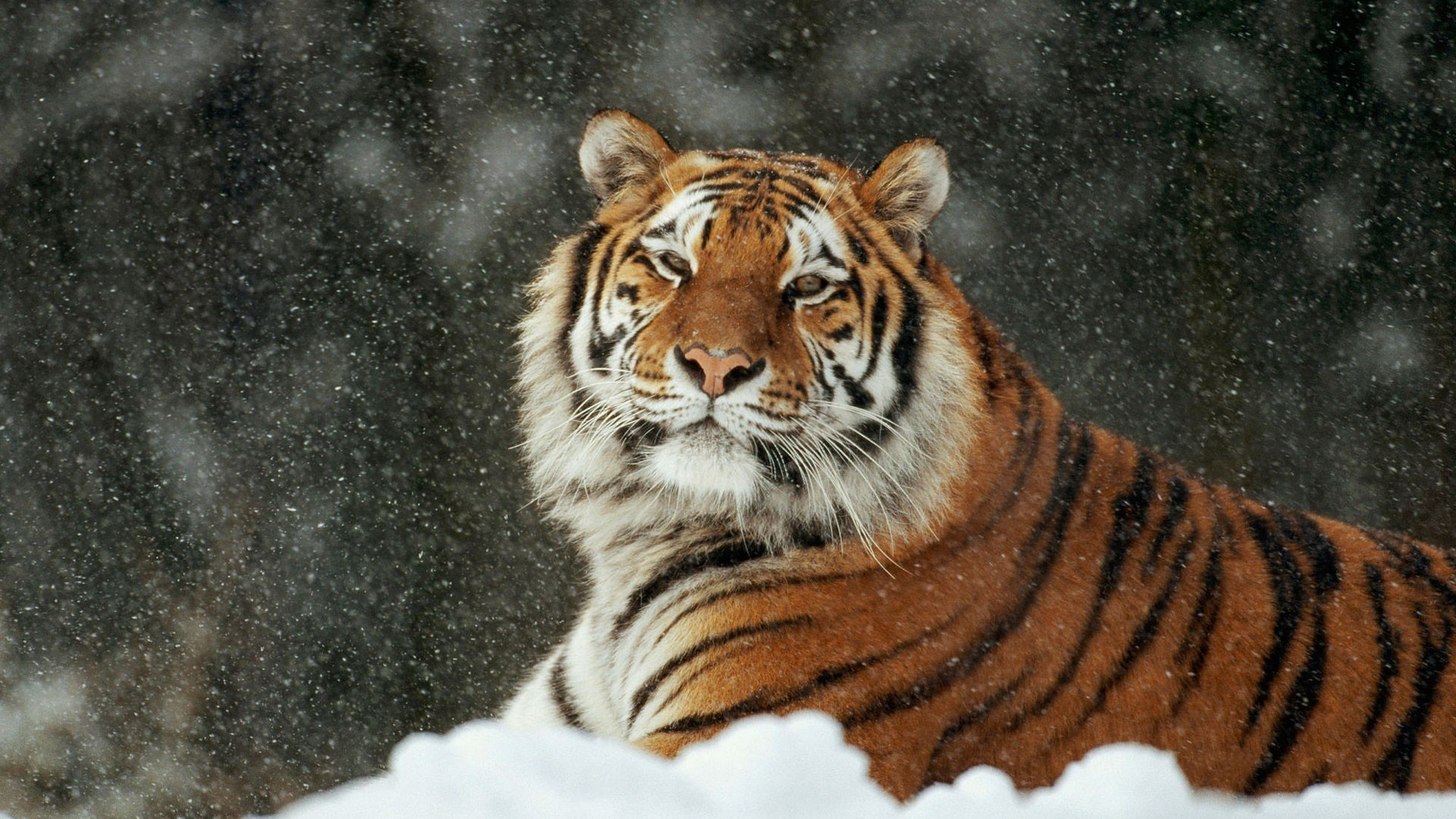 Tiger Image Wallpapers Group (86+)
