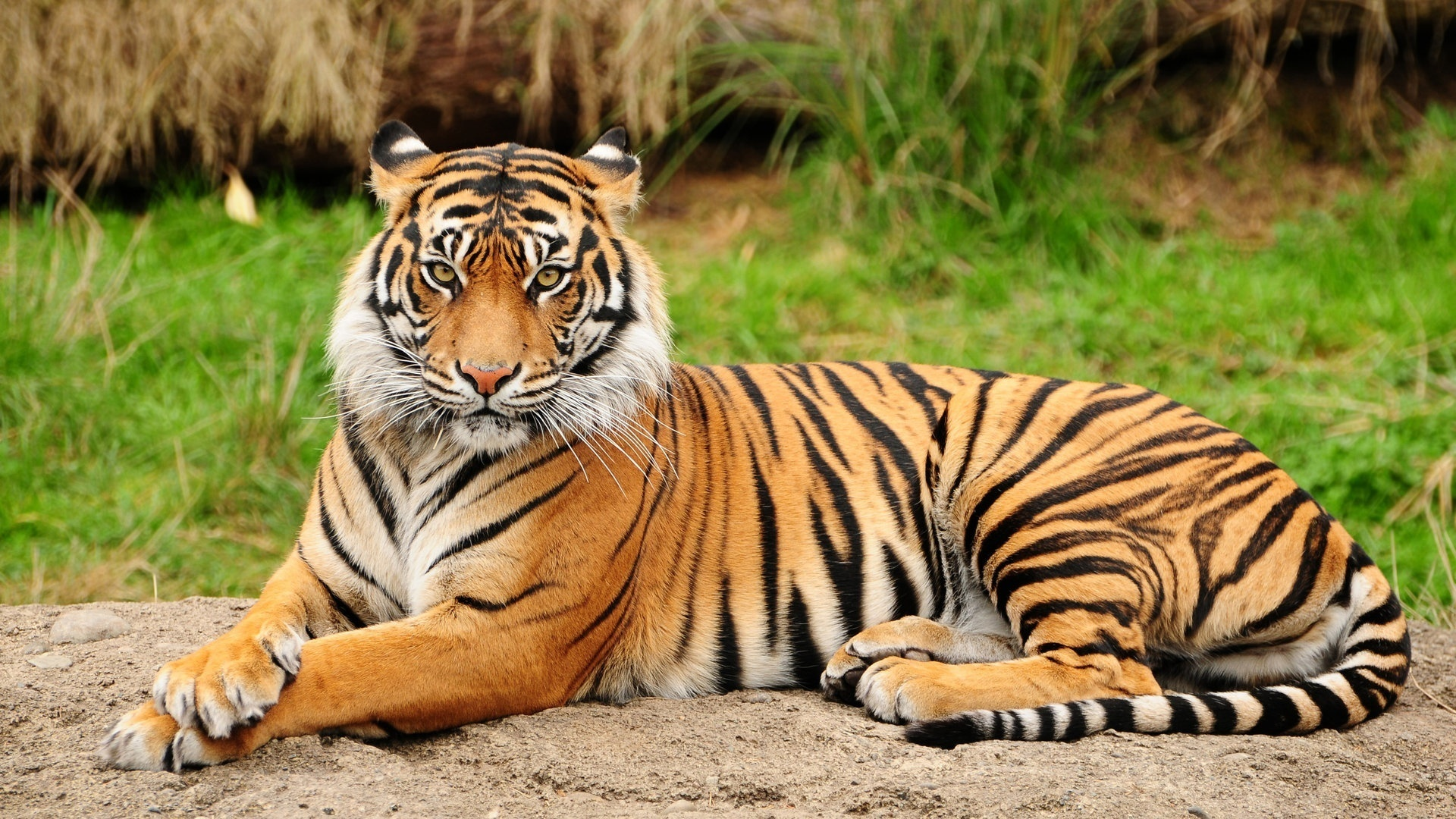 Free Tiger Wallpapers Background « Long Wallpapers