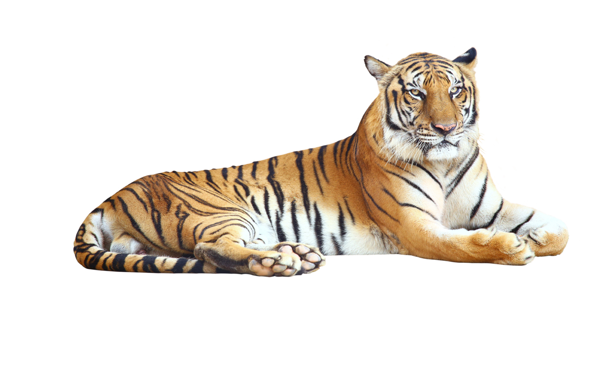 tiger white background - sf wallpaper