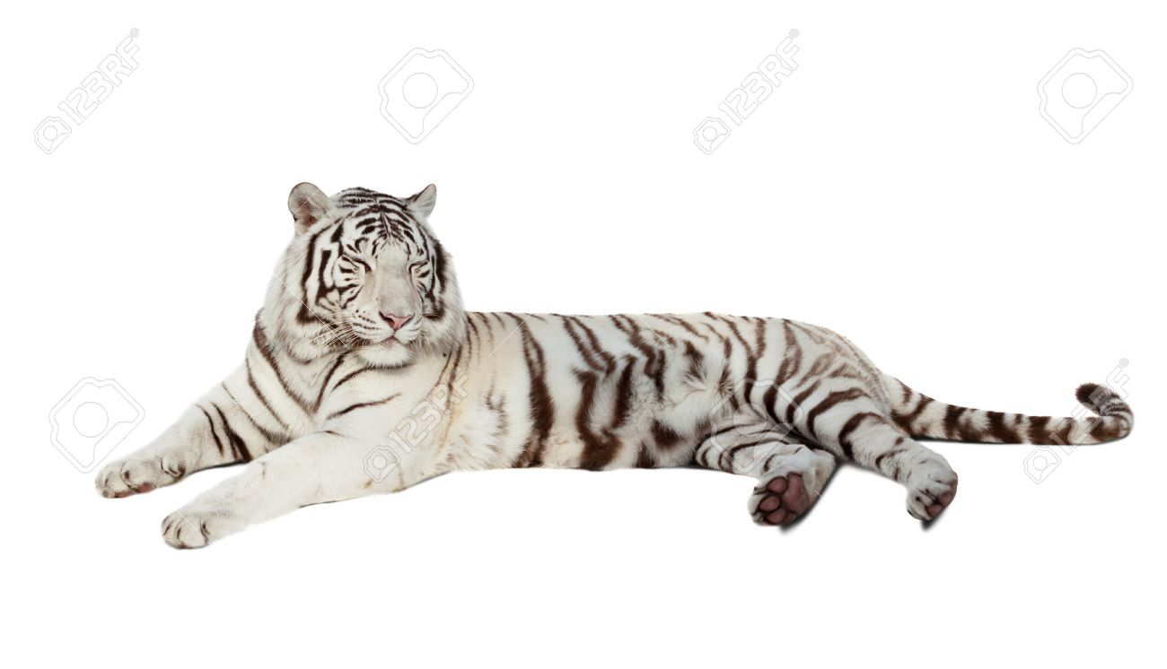 Lying White Tiger  Isolated Over White Background With Shade Stock