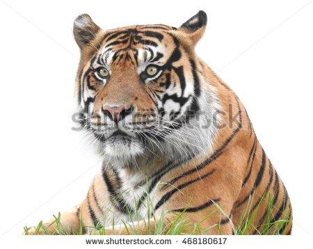 Sumatran Tiger White Background Stock Photos, Royalty-Free Images