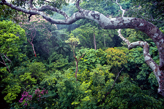 Princeton University - Tropical forest carbon absorption may hinge