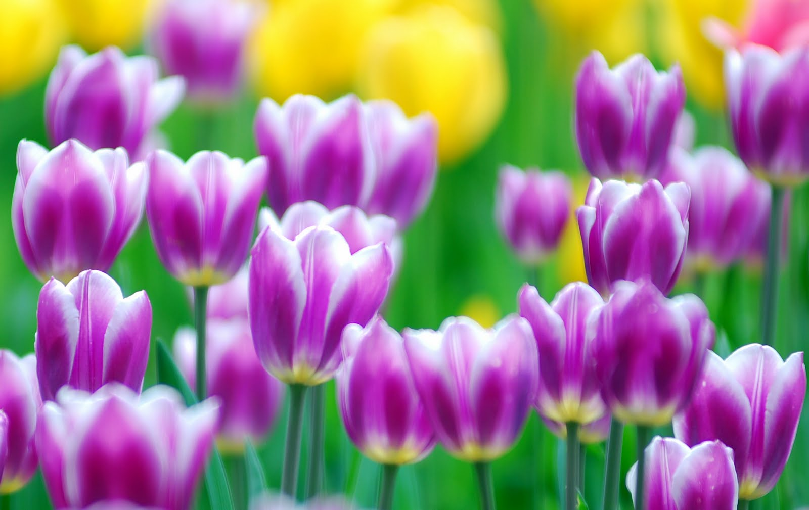 Tulip Flower Wallpapers Group (89+)