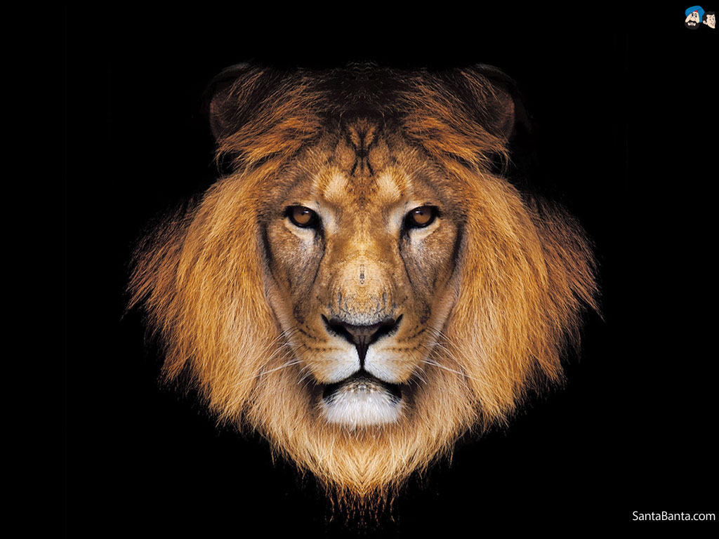 1000+ ideas about Lion Wallpaper on Pinterest | Leon, Hakuna