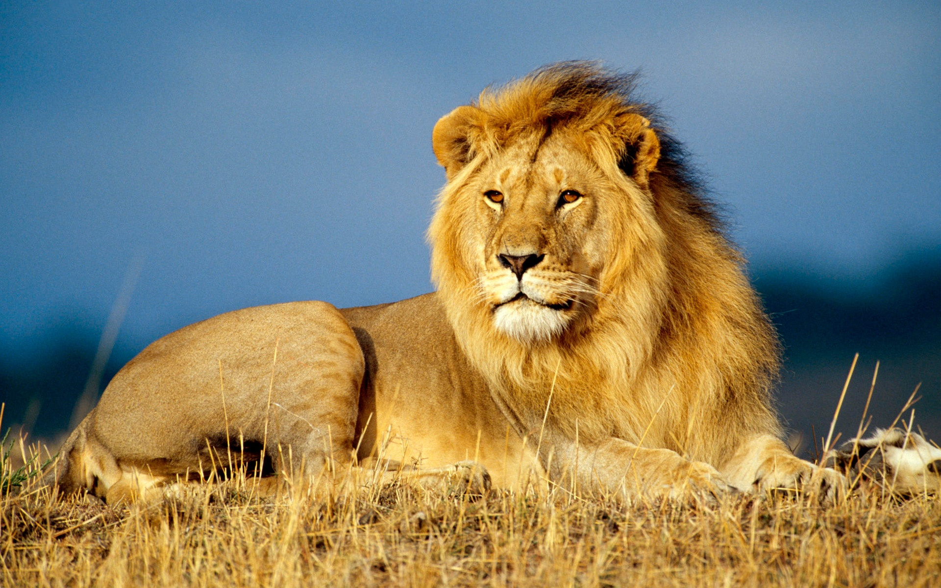 Lion wallpaper wallpapers for free download about (3,030) wallpapers