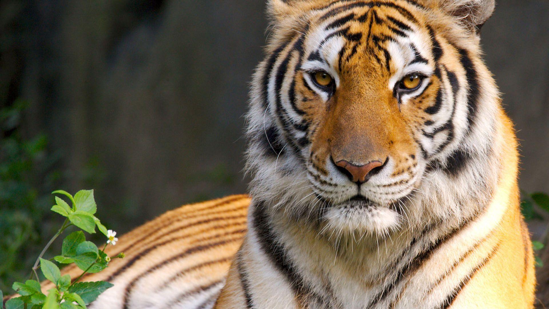 Tiger HD Wallpapers - Wallpaper Cave