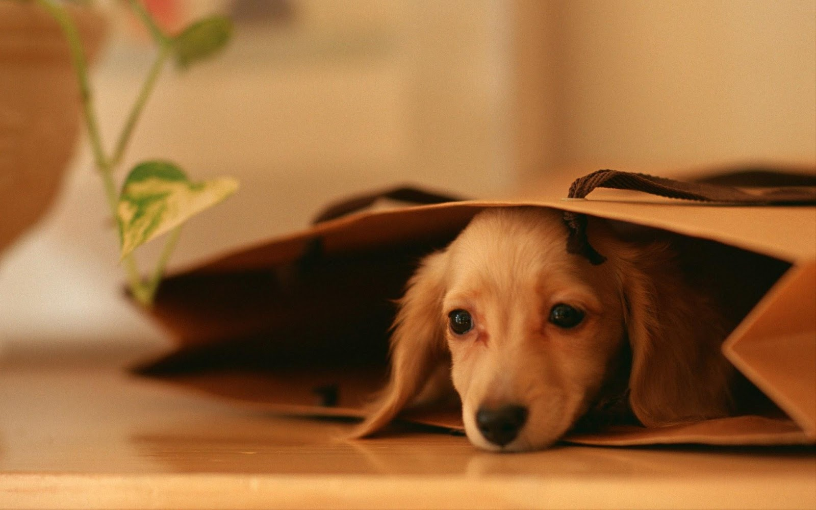Wallpapers Dogs Puppies Sf Wallpaper