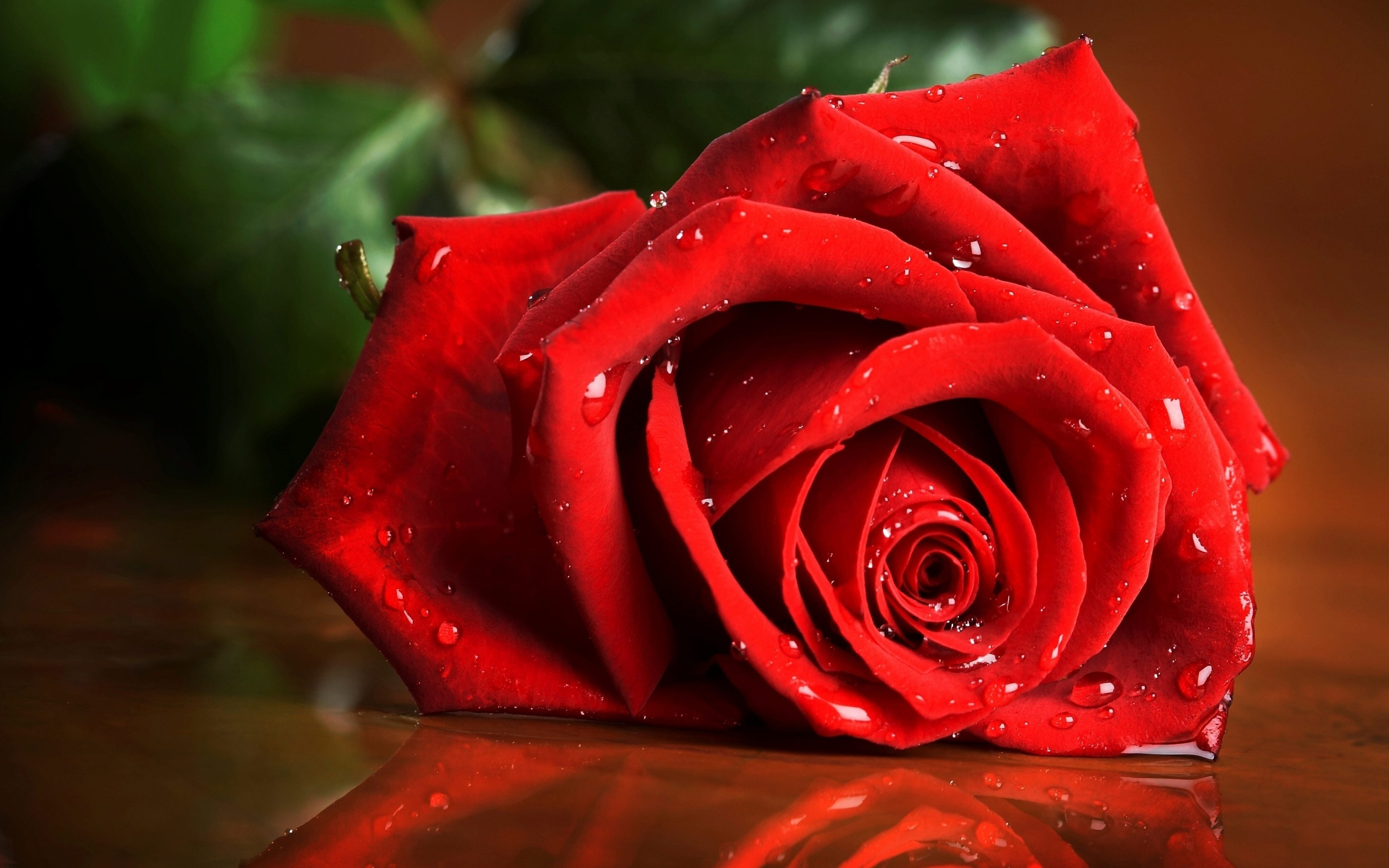 Rose Flowers Full Hd Wallpaper Flowers Healthy