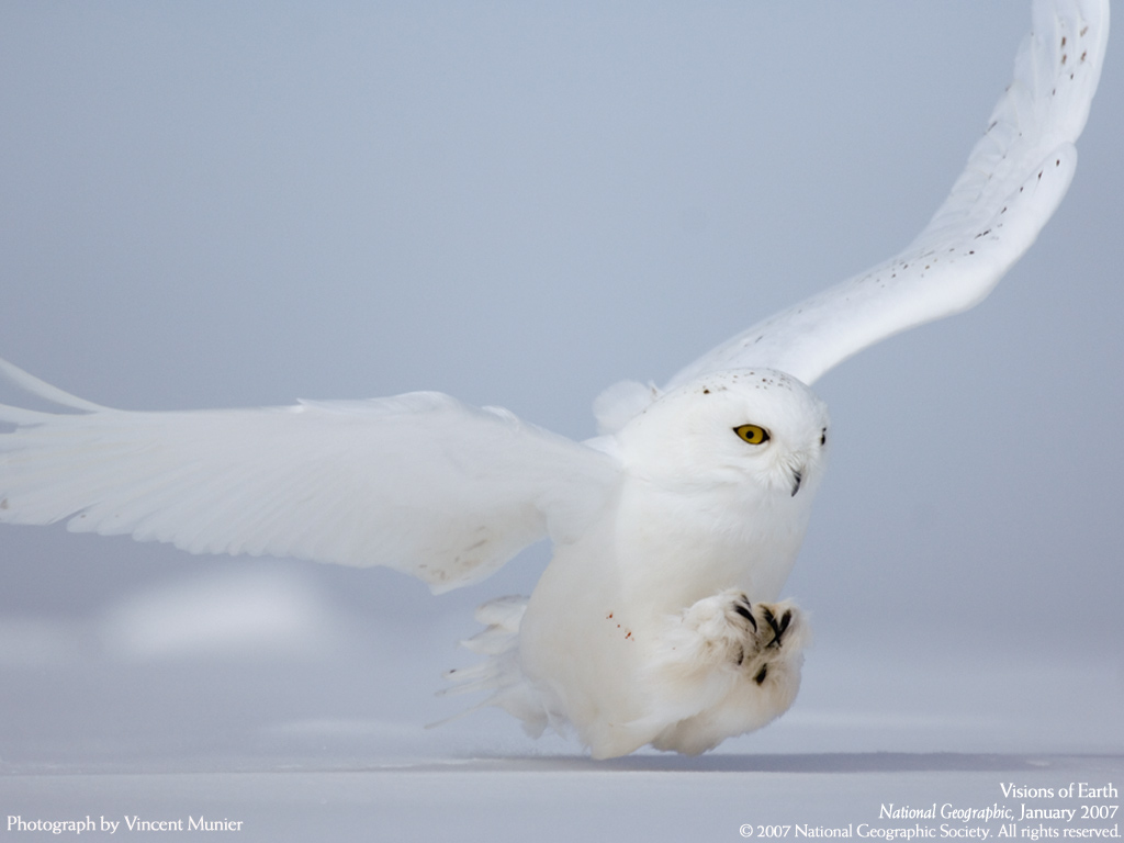 Keywords White Owl Wallpaper and Tags