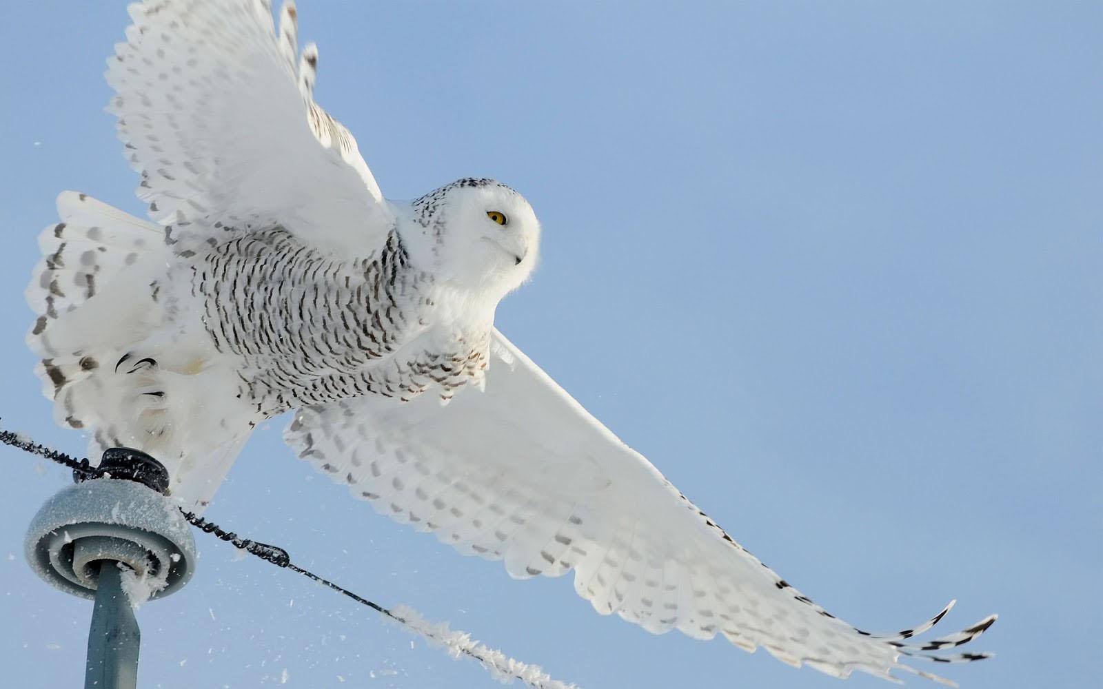 White Owl Wallpaper - WallpaperSafari