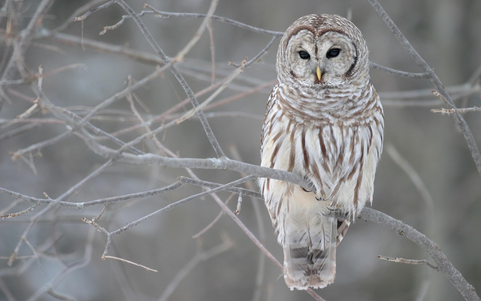 White Owl Wallpapers HD | PixelsTalk Net