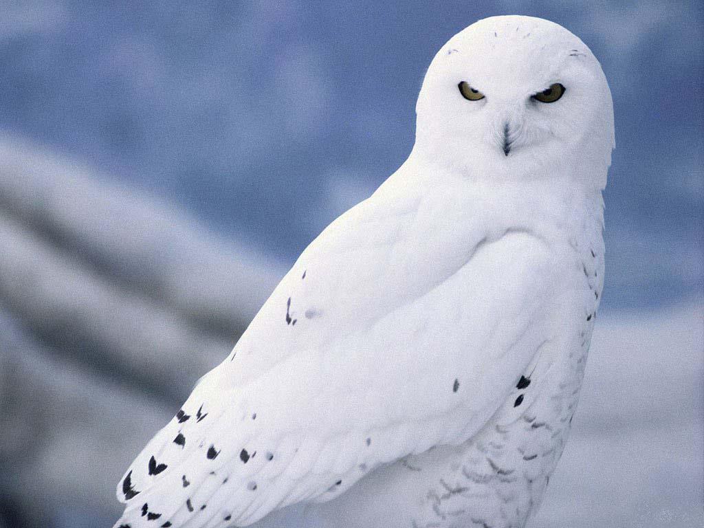 White Owl wallpaper | 1024x768 | #82582