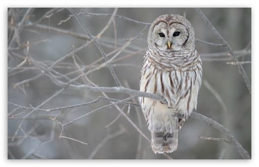 White Owl HD desktop wallpaper : Widescreen : High Definition