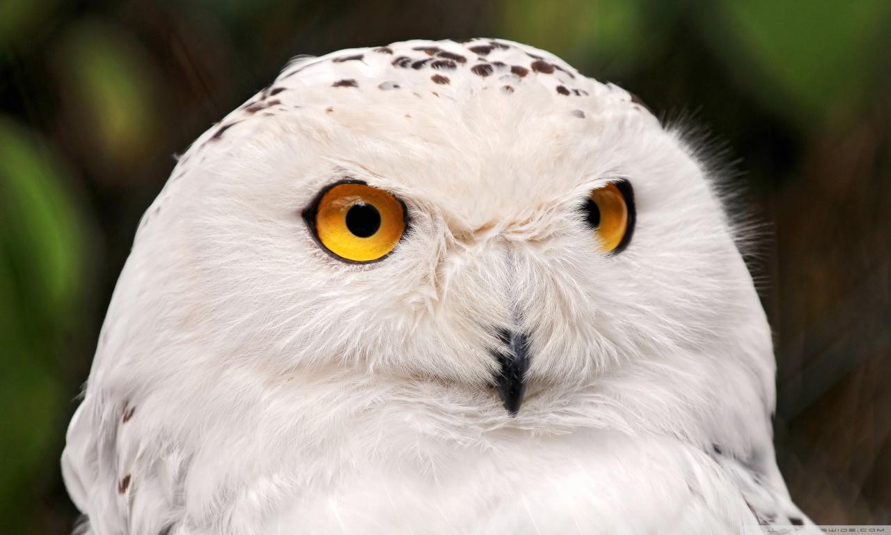 White Owl HD desktop wallpaper : High Definition : Fullscreen : Mobile