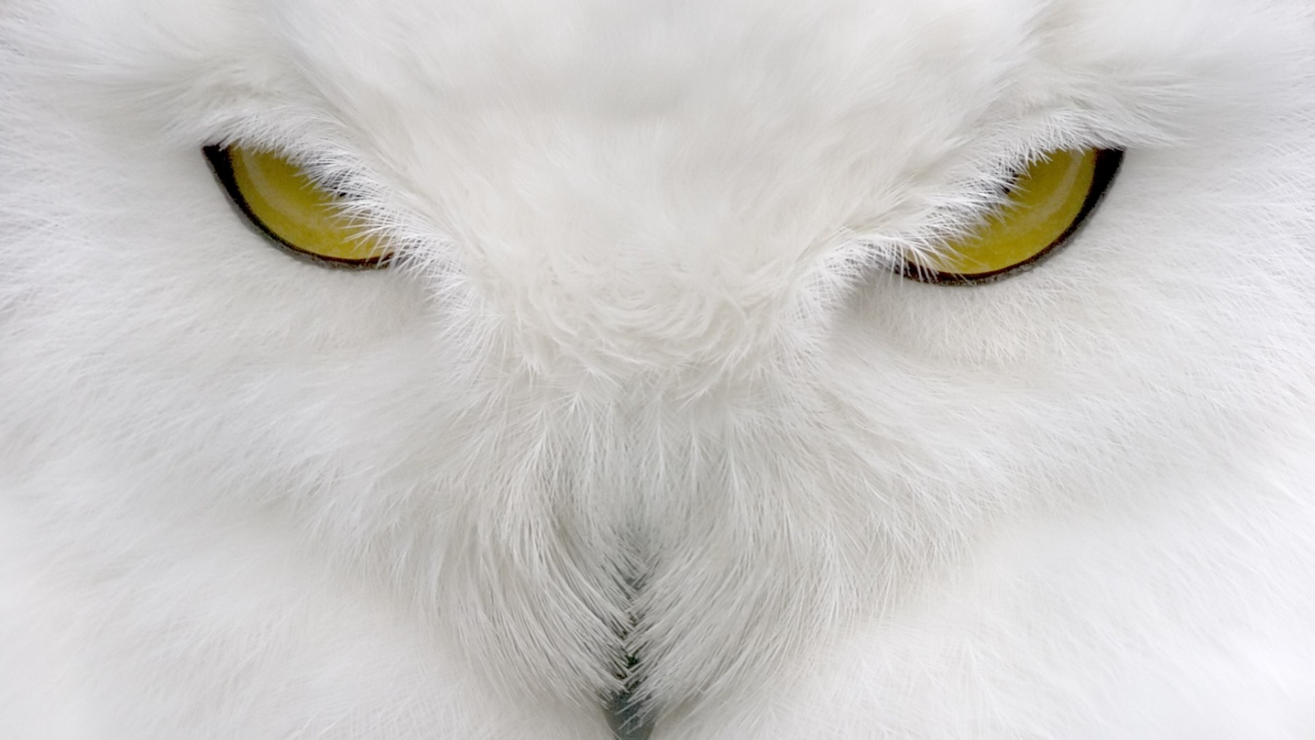 White Owl Wallpapers High Quality | Download Free