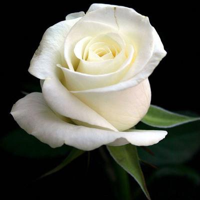 White Roses | White Rose Bouquet - 48LongStems