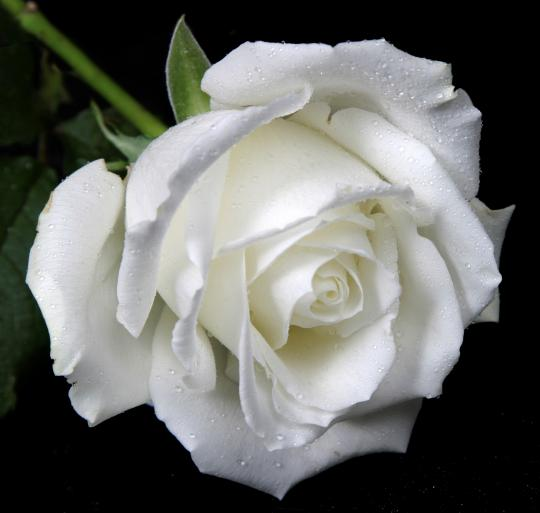 47+ White Rose HD Wallpapers, For Free Download