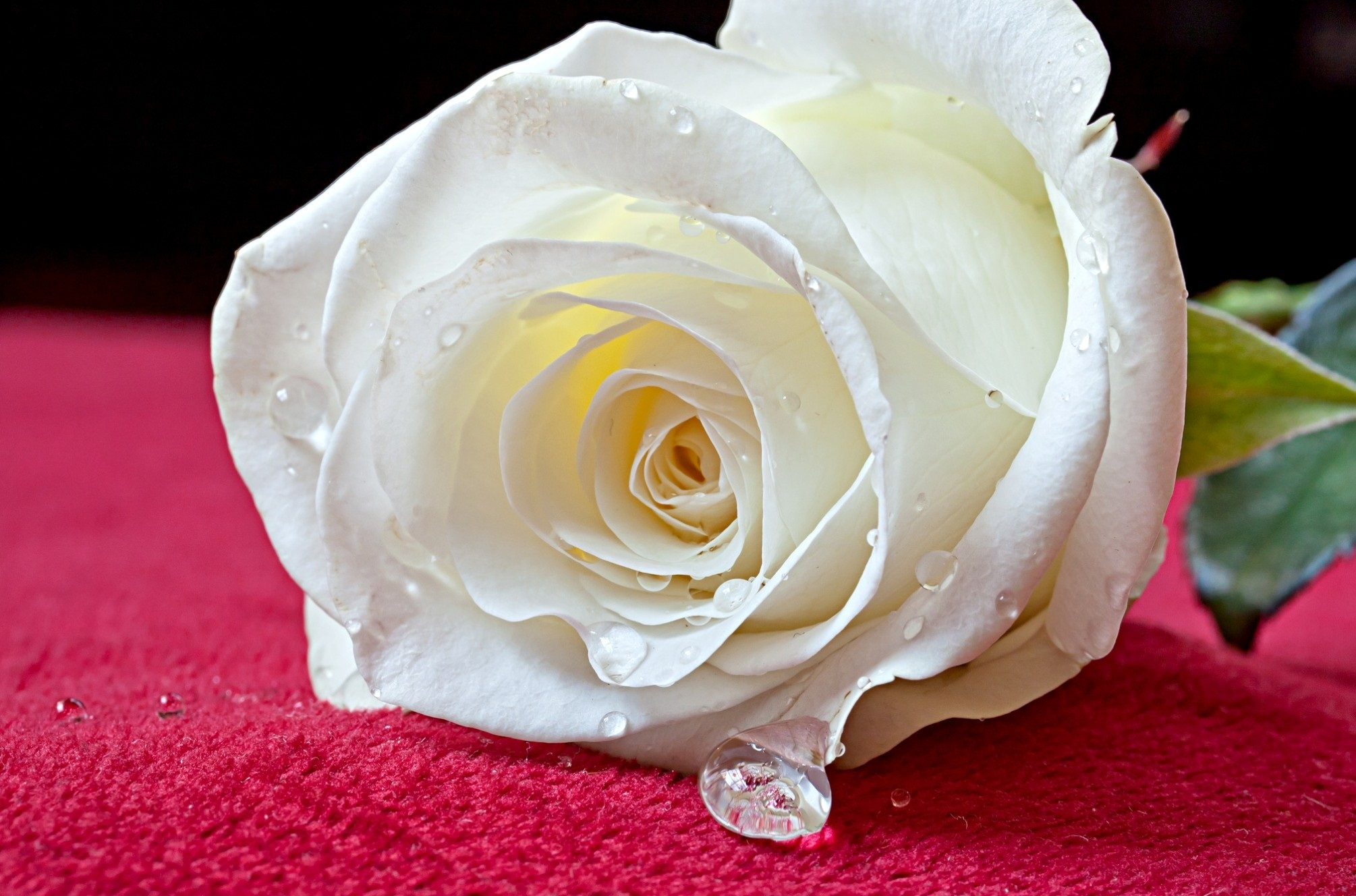 White Rose Wallpapers High Quality | Download Free